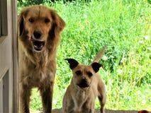 Hunde auf der Schwelle stockbild