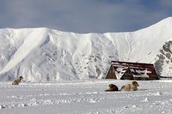 Hunde auf Skisteigung stockbild