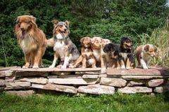 Hunde, australischer Schäfer im Porträt mit Welpen Stockbild