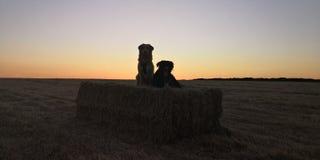 Hunde bei Schattenbildsonnenuntergang stockfotografie