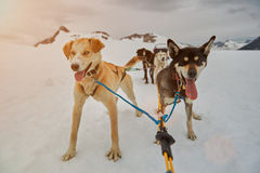 Hunde bereit zum Rodeln Stockfoto