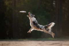 Hunde-border collie-Sprung lizenzfreies stockfoto