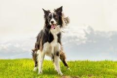 Hunde-border collie-Stand auf Bergwiese Stockfotografie