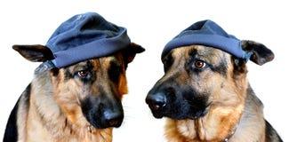 Hunde in den Schutzkappen lizenzfreies stockfoto
