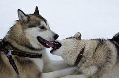 Hunde des alaskischen Malamute Lizenzfreies Stockfoto