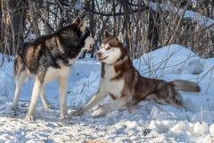 Hunde des sibirischen Huskys, die im Winterwaldkampf, Knurren, bereit, mit dem Haar am Ende in kämpfender Position zu kämpfen spi stockbild
