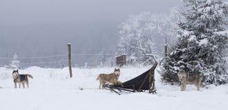 Hunde des sibirischen Huskys im Schnee Stockfotos