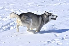 Hunde des sibirischen Huskys züchten wie, um durch den Schnee zu laufen Lizenzfreie Stockfotos