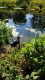 Hunde Desire To Swim stockbild