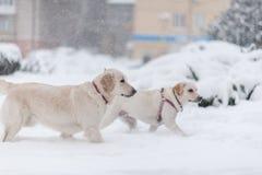 Hunde, die auf dem Schnee spielen Stockbild