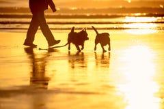 Hunde, die auf dem Strand bei Sonnenuntergang spielen Stockfoto
