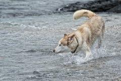 Hunde, die auf dem Strand spielen Lizenzfreie Stockfotografie