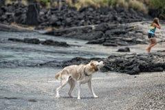 Hunde, die auf dem Strand spielen Stockfotografie