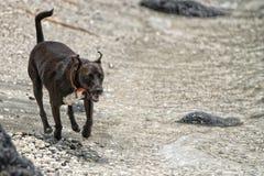 Hunde, die auf dem Strand spielen Stockfoto