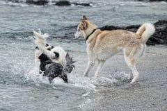 Hunde, die auf dem Strand spielen Lizenzfreies Stockbild