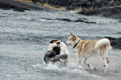 Hunde, die auf dem Strand spielen Stockbild