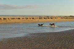 Hunde, die auf dem Strand spielen Lizenzfreie Stockfotos