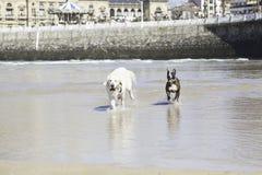 Hunde, die auf dem Strand spielen und laufen Stockfoto