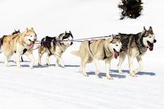 Hunde, die auf den Schnee gehen Lizenzfreie Stockbilder