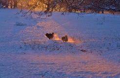Hunde, die auf den Schneegebieten jagen Lizenzfreie Stockfotografie