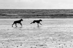 Hunde, die auf den Strand laufen Stockbild