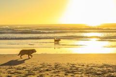 Hunde, die auf den Strand laufen Lizenzfreie Stockfotos