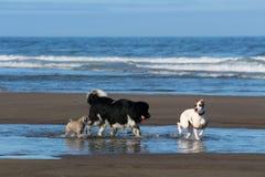 Hunde, die auf der Oregon-Küste spielen Stockfoto