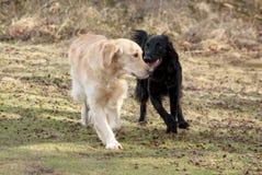 Hunde, die auf einem Weg sich treffen Lizenzfreies Stockfoto