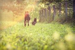 Hunde, die auf Feld laufen Stockfotografie