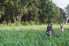 Hunde, die auf grünem Feld laufen Stockfotos