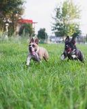 Hunde, die auf grünem Feld laufen Lizenzfreies Stockfoto