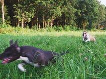 Hunde, die auf grünem Feld laufen Stockbild