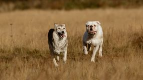 Hunde, die auf Rasen laufen Stockfotos