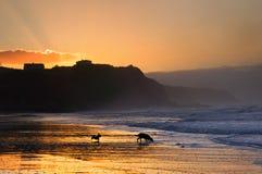 Hunde, die auf Strand bei Sonnenuntergang spielen und laufen Stockfotos