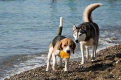 Hunde, die auf Strand spielen Stockfoto