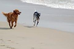Hunde, die auf Strand spielen Lizenzfreie Stockfotos