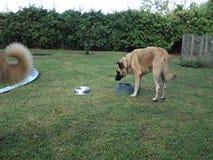 Hunde, die in den Karibischen Meeren zu Mittag essen stock footage