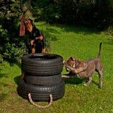 Hunde, die den Muskel ausbilden Stockbild