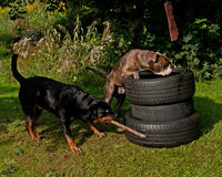 Hunde, die den Muskel ausbilden Lizenzfreies Stockfoto