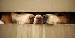 Hunde, die durch Zaun schauen Lizenzfreie Stockfotos