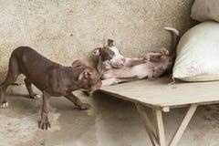 Hunde, die in einem Lager im sapa Vietnam spielen Lizenzfreies Stockfoto