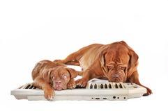 Hunde, die elektrisches Klavier spielen Stockbilder