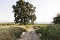 Hunde, die Feld laufen lassen Lizenzfreie Stockfotos