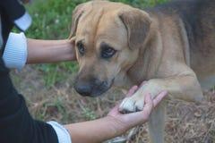 Hunde, die Hand mit Menschen, Freundschaft zwischen Menschen und Hunde rütteln Lizenzfreies Stockfoto