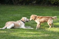 Hunde, die im Hinterhof spielen Stockbild