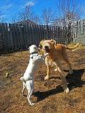 Hunde, die im Hinterhof spielen Lizenzfreies Stockbild