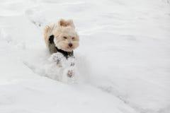 Hunde, die im Schnee im Winter spielen Stockbilder