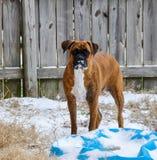 Hunde, die im Schnee spielen Stockfotos