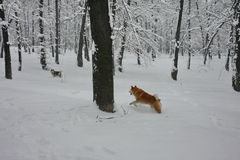 Hunde, die im Schnee spielen Stockfoto