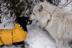 Hunde, die im Schnee spielen Lizenzfreie Stockfotos